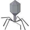 Gut phageome