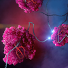 CRISPR-Cas13