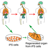 Induced pluripotent stem cell